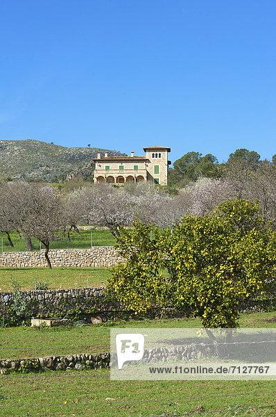 Mandelbaum  Prunus dulcis  Außenaufnahme  Europa  Tag  europäisch  niemand  Blüte  Natur  Insel  Mallorca  Mandel  Andratx  Balearen  Balearische Inseln  freie Natur  Spanien  spanisch