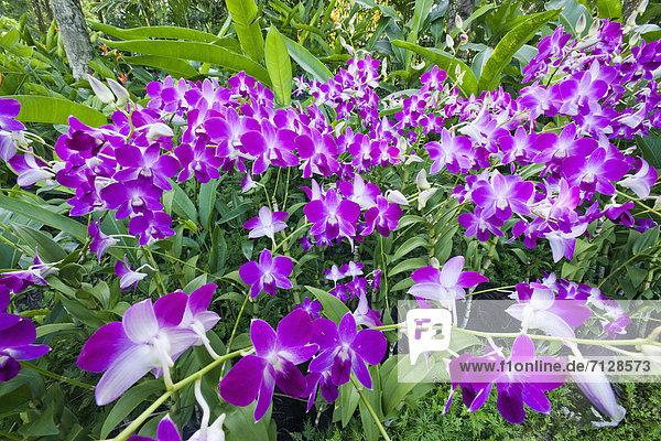 Botanischer Garten Botanische Urlaub Blume Reise Pflanze Garten Orchidee Asien Botanik Ziergarten Orchideengarten Singapur Tourismus
