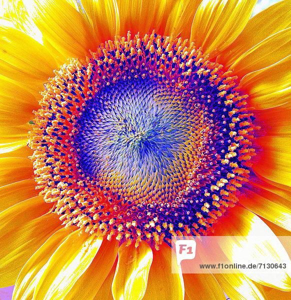 Flowers,  plants,  sunflower,  blossom,  flourish,  detail,  alienated