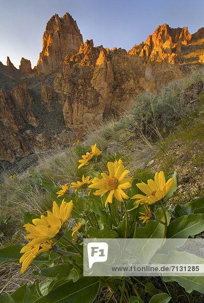 Salbei  Salvia pratensis  Vereinigte Staaten von Amerika  USA  Felsbrocken  Stein  Amerika  Blume  Botanik  trocken  Geologie  Wüste  Landschaftlich schön  landschaftlich reizvoll  blühen  Schlucht  Oregon  Salbei