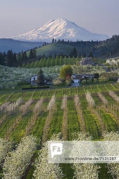 Vereinigte Staaten von Amerika  USA  Berg  Amerika  Sonnenuntergang  Baum  Landwirtschaft  Stadt  Vulkan  Berggipfel  Gipfel  Spitze  Spitzen  Obstgarten  Schlucht  Hood River  Columbia River  Mount Adams  Oregon