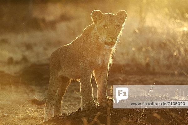 Löwe  Panthera leo  Tier  Safari  Welpe  Afrika  Löwe - Sternzeichen  Wildtier  Zimbabwe