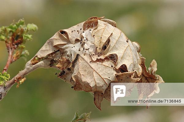 Goldafter (Euproctis chrysorrhoea)  Raupengespinst  Provence  Südfrankreich  Europa