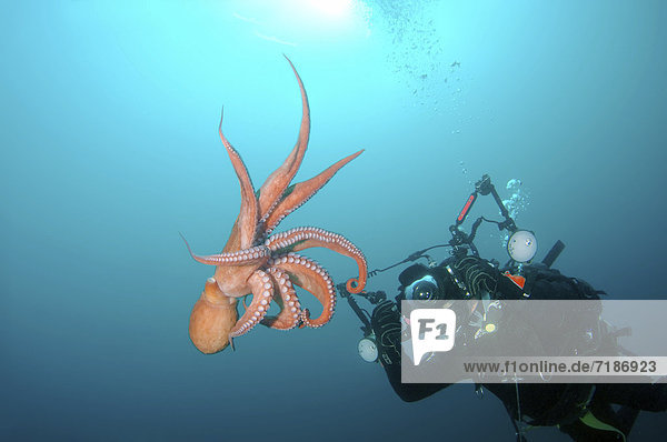 Giant Pacific octopus or North Pacific Giant octopus (Enteroctopus dofleini),  Japan Sea,  Far East,  Primorsky Krai,  Russian Federation