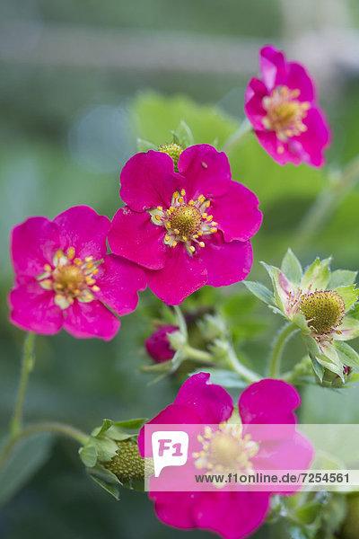 Blume  pink  Erdbeere