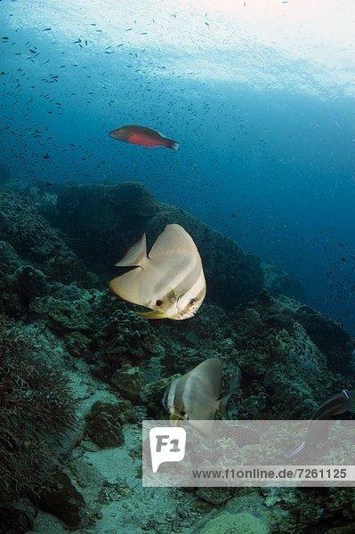 Golden spadefish (Platax boersii)  Thailand  Southeast Asia  Asia