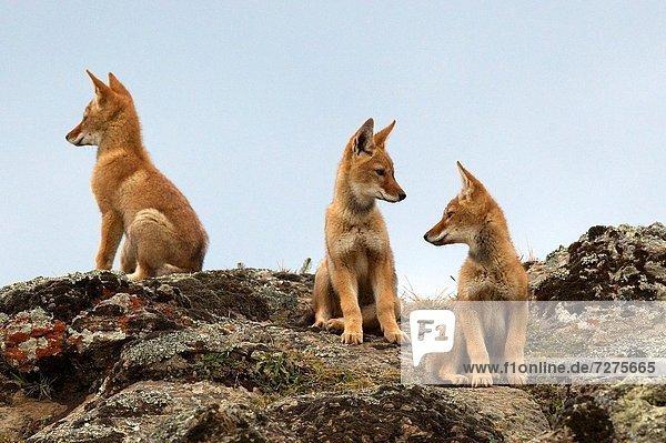 Wolf  Canis lupus  3  Welpe  Äthiopien Wolf, Canis lupus ,3 ,Welpe ,Äthiopien