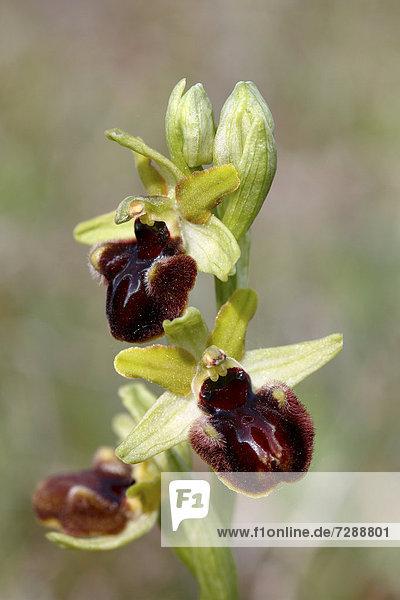 Große Spinnen-Ragwurz (Ophrys sphegodes)  Blüten  Neusiedlersee  Burgenland  Österreich  Europa