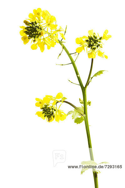 Close up of rapeseed against wihte background