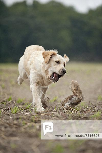 Golden Retriever spielt mit Dummy