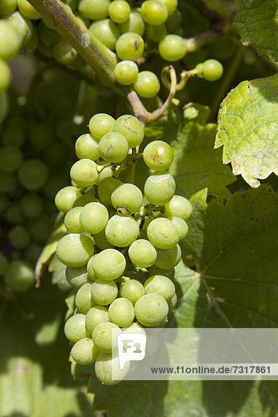 Weintrauben am Weinstock  Kobern-Gondorf  Mosel  Rheinland-Pfalz  Deutschland  Europa  ÖffentlicherGrund