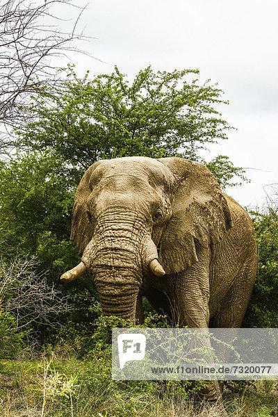 Afrikanischer Elefantenbulle (Loxodonta africana)  Etosha-Nationalpark  Namibia  Afrika