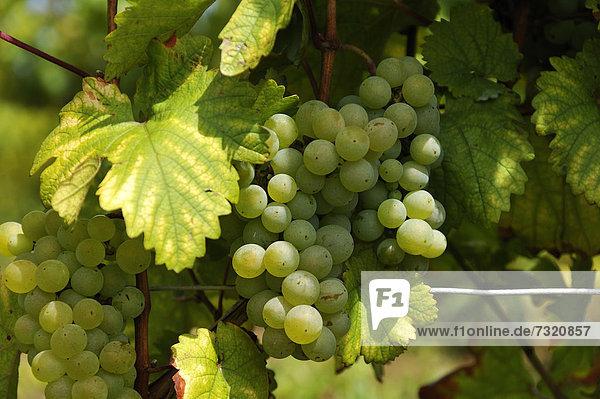 Weiße Weintrauben (Vitis vinifera) am Rebstock  Kirchberg  Wipfeld  Unterfranken  Bayern  Deutschland  Europa