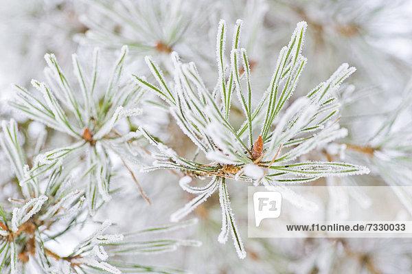 Bereifte Kiefernzweige (Pinus)  Schweden  Europa