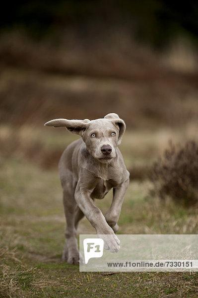 Galoppierender Weimaraner Junghund