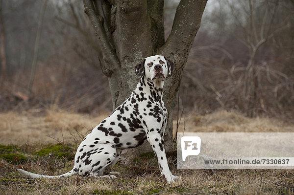 Sitzender Dalmatiner