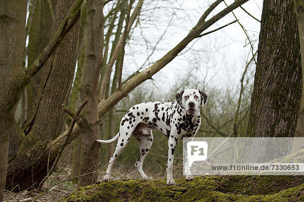 Dalmatiner steht auf einem Baumstamm
