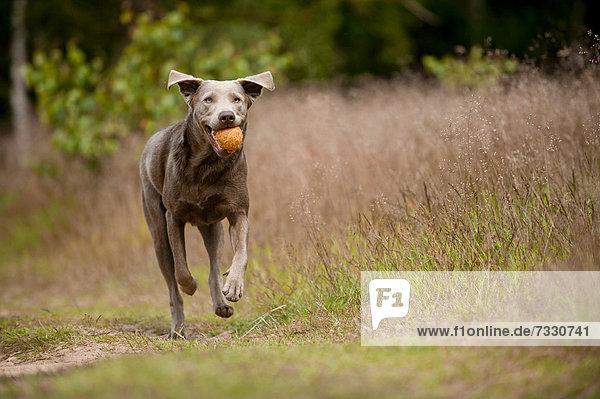 Labrador Retriever apportiert Ball