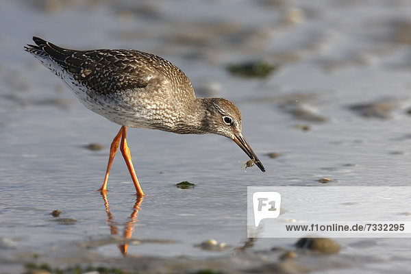 Common Redshank (Tringa totanus) searching for food in the mud  with Edible Crab or Brown Crab (Cancer pagurus)  Minsener Oog  East Frisian Islands  Lower Saxony Wadden Sea National Park  Lower Saxony  Germany  Europe