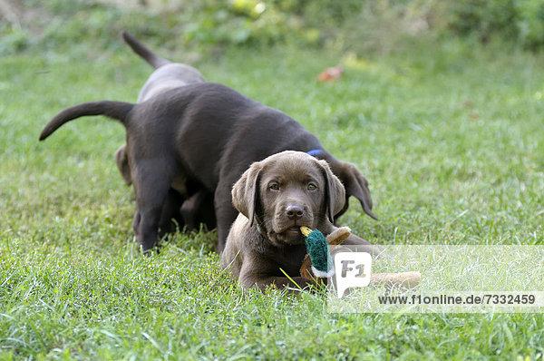 Brauner Labrador Retriever Welpe liegt auf Wiese mit einer Stoffente im Maul