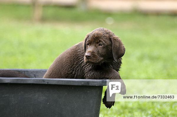 Nasser brauner Labrador Retriever Welpe sitzt in Kunststoffwanne