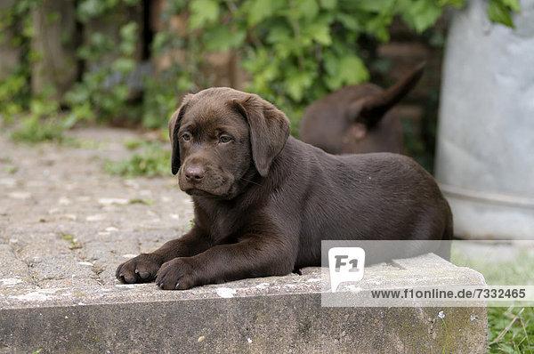 Brauner Labrador Retriever Welpe liegt auf einer Steinstufe
