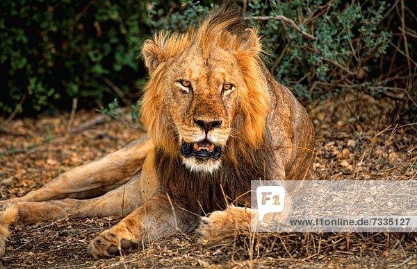 Löwe  Panthera leo  Lebensmittel  Start  Regenwald  groß  großes  großer  große  großen  Jagd  Zimmer  König - Monarchie  Masai  Afrika  Kenia