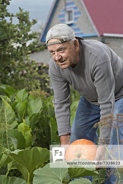 Ein älterer Mann  der einen Kürbis aus seinem Garten holt. Ein älterer Mann, der einen Kürbis aus seinem Garten holt.