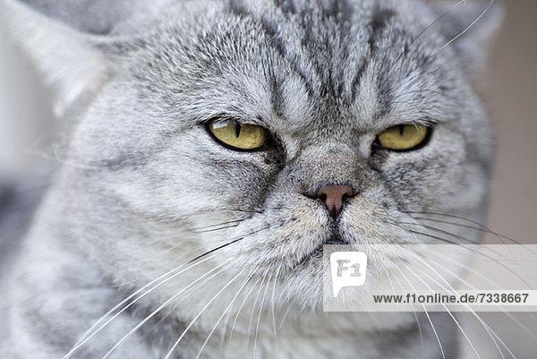 Eine graue Hauskatze  die ruhig aussieht.