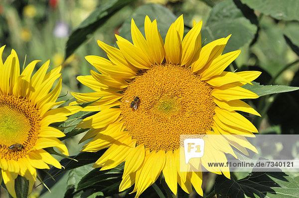 Sonnenblumen (Helianthus annuus)  Sonnenblumenfeld  Schwäbisch Gmünd  Baden-Württemberg  Deutschland  Europa