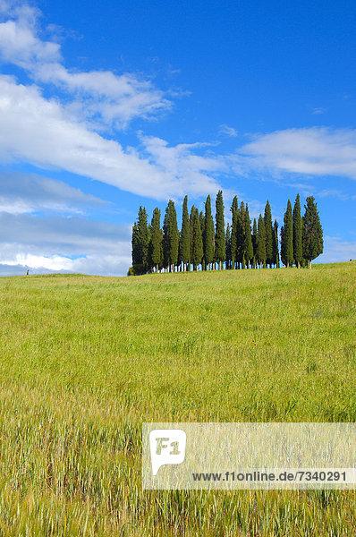 Zypressen  San Quirico d'Orcia  Val d'Orcia  UNESCO Weltkulturerbe  Provinz Siena  Toskana  Italien  Europa