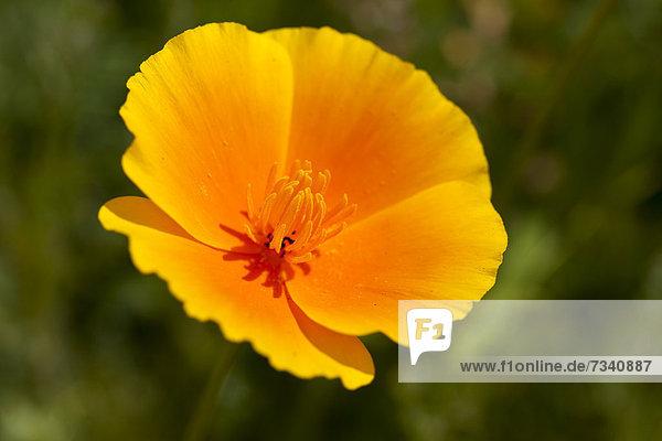 Kalifornischer Mohn (Eschscholzia californica)  Nahaufnahme einer Blüte