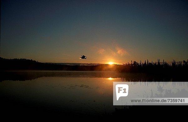 fliegen  fliegt  fliegend  Flug  Flüge  Sonnenuntergang  über  See  Vogel