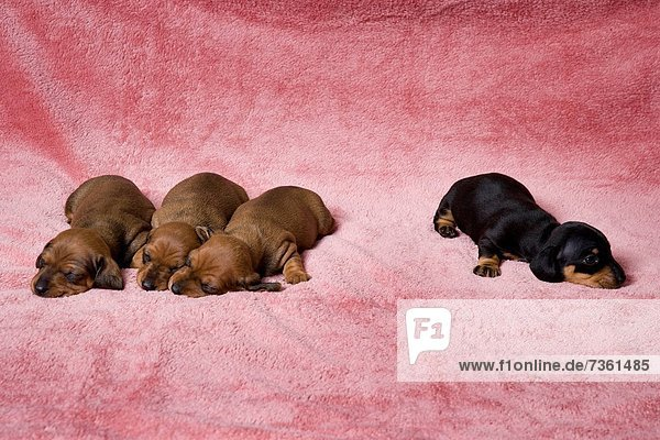 Close_up of dachshund puppies sleeping on a towel Close_up of dachshund puppies sleeping on a towel