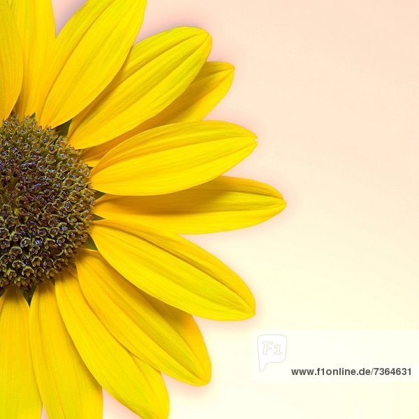 Close_up of a sunflower
