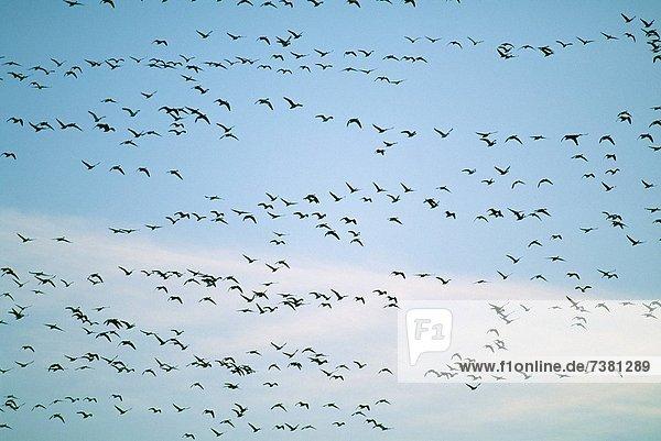Vogel  wandern  Vogelschwarm  Vogelschar