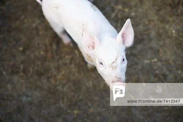 Schwein im Schmutzfeld stehend