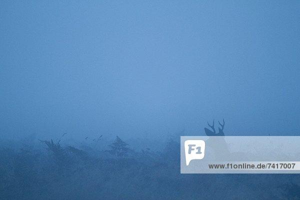 Fotografie  Morgen  früh  Kalifornien  Sequoia  Hirsch
