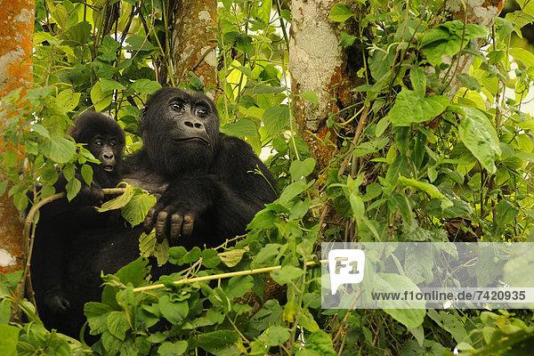 junger Erwachsener  junge Erwachsene  jung  Erwachsener  Gorilla  November
