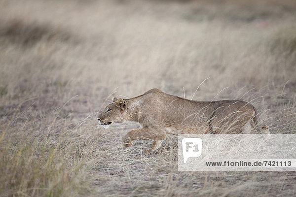 Raubkatze  Löwe  Panthera leo  pirschen  Masai Mara National Reserve  Erwachsener  August  Abenddämmerung  Kenia  Löwe - Sternzeichen  Masai  Beutetier  Beute  Savannah