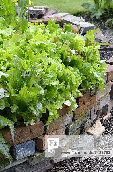 Schrebergarten bauen Europa europäisch Sommer heben britisch Großbritannien Pflanzenblatt Pflanzenblätter Blatt Gemüse Salat Nutzpflanze Wachstum Bett Ziegelstein Pflanze Material Garten Gartenbau August gepflegt England englisch