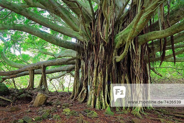 Banyan tree along the Pipiwai trail to Waimoku Fall in the Kipahulu area of Haleakala National Park in Maui  Hawaii