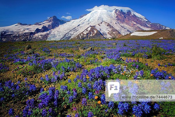 Carpet of lupines on 1st Burroughs Mountain in Mount Rainier National Park in Western Washington  USA