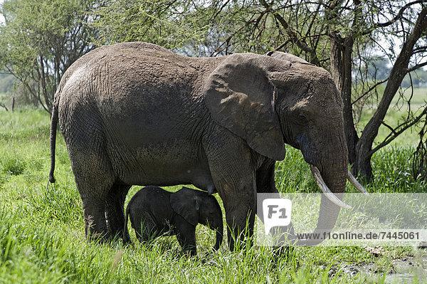 Afrikanischer Elefant mit Jungtier  Loxodonta africana  Tarangire-Nationalpark  Tansania  Afrika Afrikanischer Elefant mit Jungtier, Loxodonta africana, Tarangire-Nationalpark, Tansania, Afrika