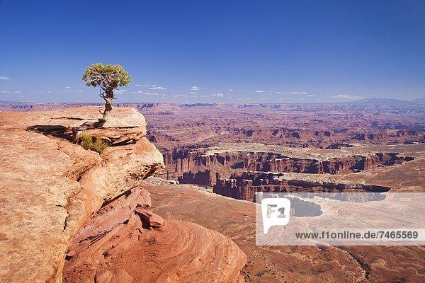 Vereinigte Staaten von Amerika  USA  Baum  Ehrfurcht  Ignoranz  Nordamerika  Canyonlands Nationalpark  Ansicht  zeigen  Island in the Sky  Wacholder  Utah