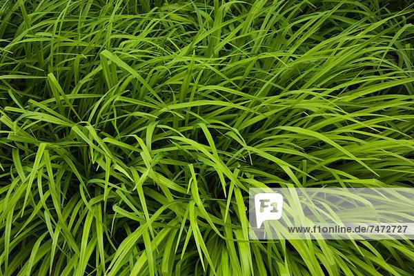 Hohes Gras  das im Wind weht