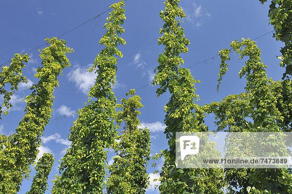 Hopfen  Humulus  Wachstum  Plantage  Baden-Württemberg  Deutschland
