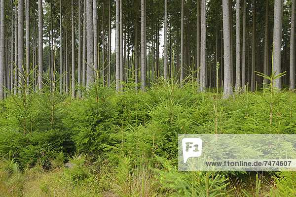 Deutschland  Hessen  Fichtenwald Deutschland ,Hessen ,Fichtenwald