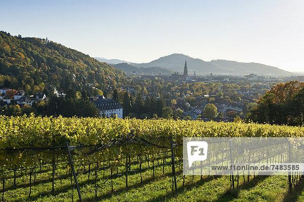 Herbstlich verfärbter Weinberg  Freiburg im Breisgau  Baden-Württemberg  Deutschland  Europa