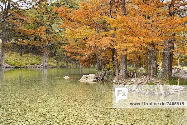USA  Texas  Zypressenbaum mit goldenen Blättern in Frio River